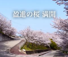 盈進の桜 満開